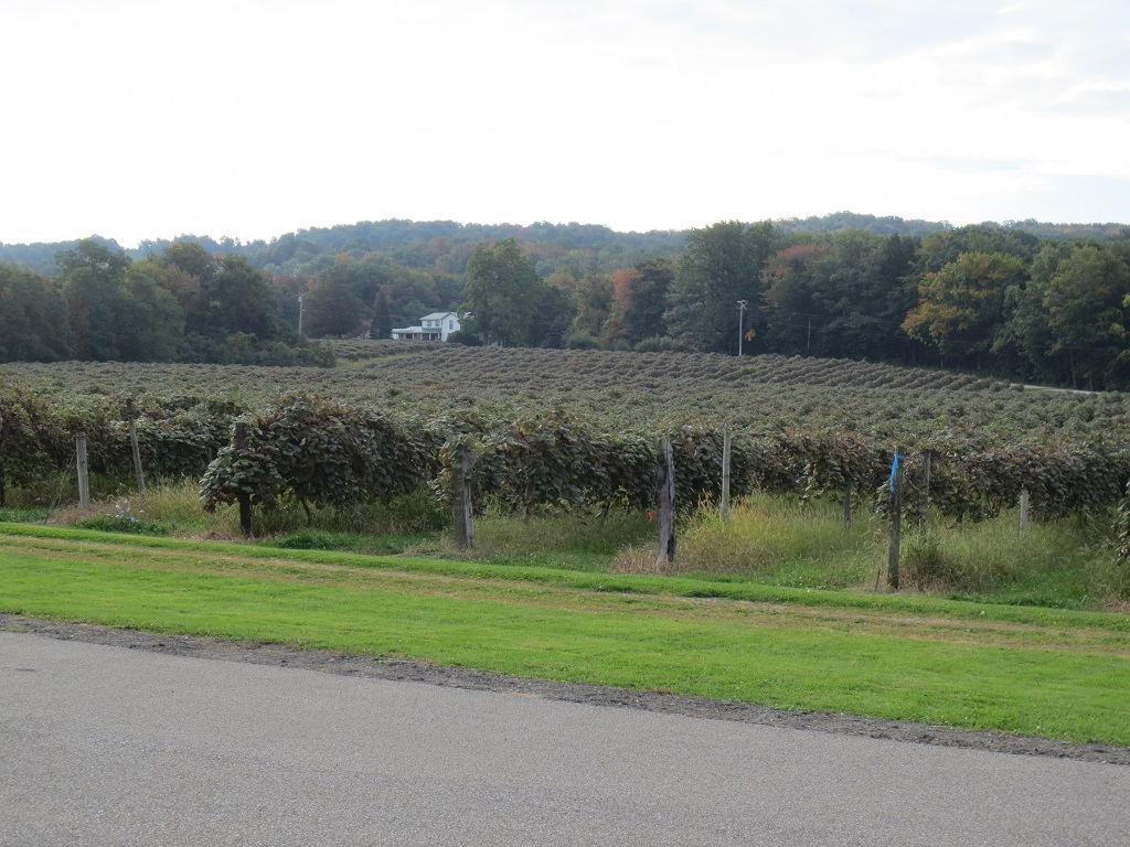 Mogen David vineyard located in Westfield, New York